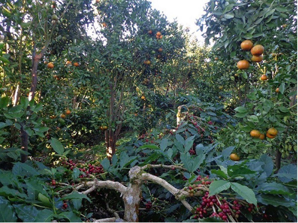 Kaffeepflanzen auf Bali